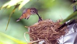 hummingbird_purple-collared_woodstar_peru_0